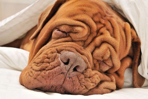 Cute wrinkled dog